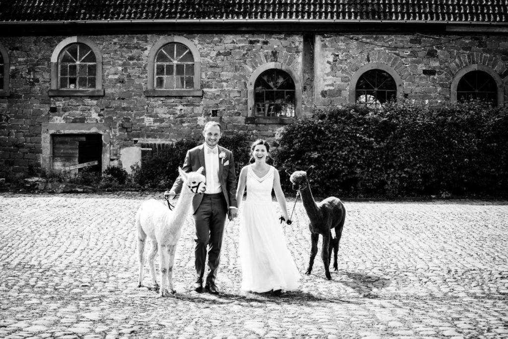 Alpakas mit Hochzeitspaar